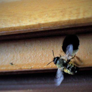 Les abeilles du donjon de Montrichard